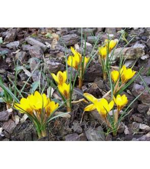 crocus chrysanthus...