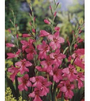 Gladiolus communis ssp...