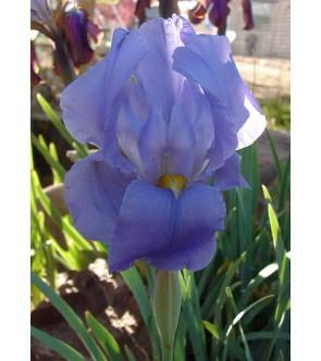 Iris hoogiana