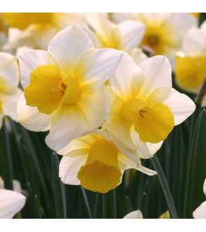 Narciso jonquilla Golden Echo