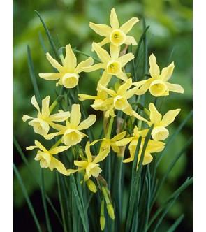 Narciso triandrus Hawera