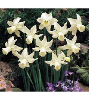 Narciso cyclamineus Jenny