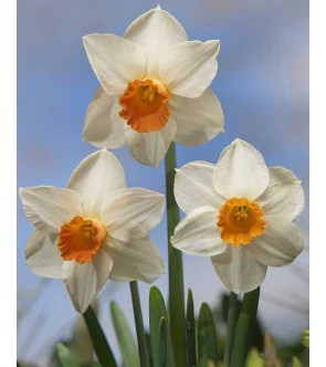 Narciso cyclamineus Kaydee