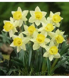 Narciso a tromba Little Beauty