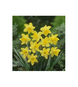 Narciso a tromba Little Gem