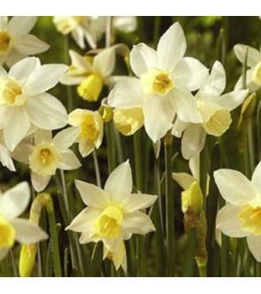 Narciso jonquilla Sailboat
