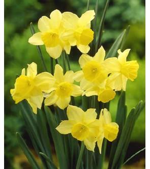 Narciso triandrus Stint