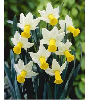 Narciso cyclamineus Trena