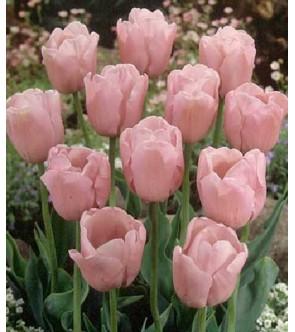 Tulipano stelo lungo Pink...