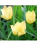Tulipano batalinii Yellow...