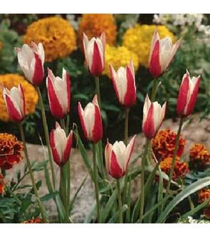 Tulipano Clusiana