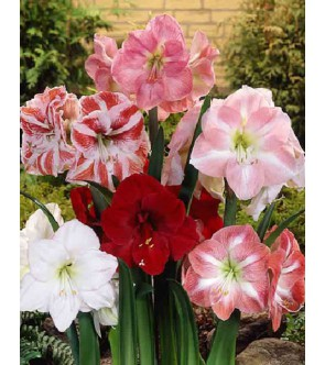 Amaryllis Assortiti,...