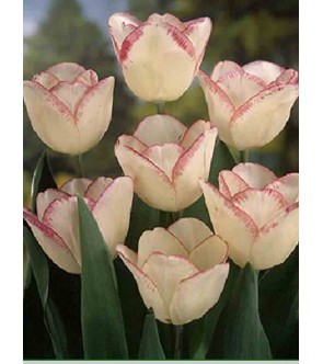 Tulipano stelo lungo Shyrley