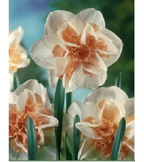 Narciso doppio Delnashaugh