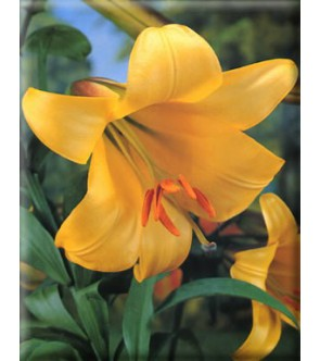 Lilium Golden Spendour