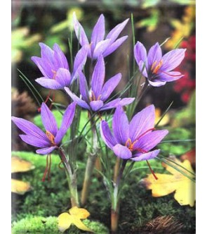 Crocus Sativus ( Zafferano )