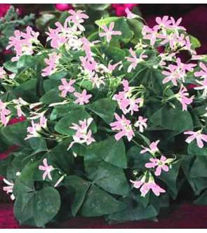Oxalis triangularis ssp...