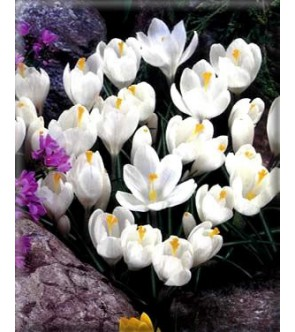 Crocus Jeanne D arc