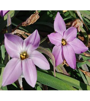Ipheion uniflorum Charlotte Bishop