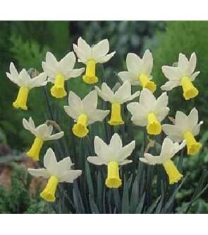 Narciso cyclamineus Ara