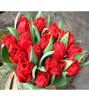 Tulipano doppio Elisabeth
