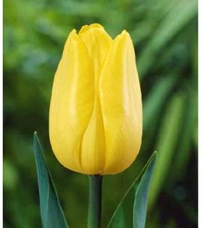Tulipano stelo lungo Strong...
