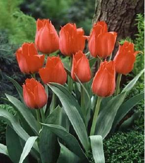 Tulipano botanico Princeps