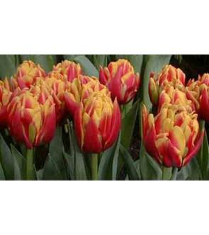 Tulipano doppio Cilesta