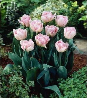 Tulipano doppio Foxtrot