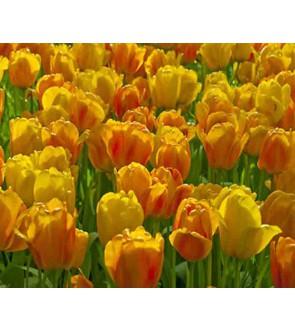 Tulipano stelo lungo Beauty...