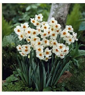 Narciso tazetta Cragford