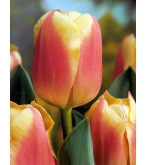 Tulipano stelo lungo Anna Josè