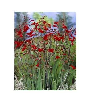 Crocosmia a fiore grande...