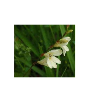 Tritonia lineata var. parvifolia