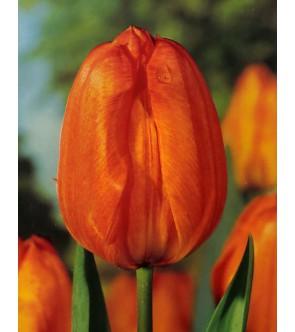 Tulipano stelo lungo Galway