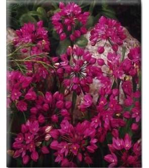 Allium Ostrowskianum sin...