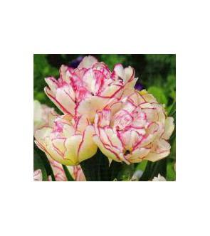 Tulipano doppio Cartouche