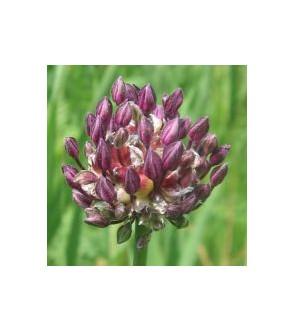 Allium scorodoprasum Art