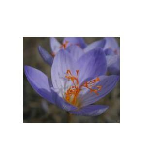 Crocus speciosus ssp speciosus