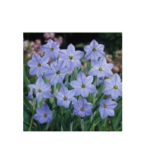Ipheion uniflorum Rolf Fielder