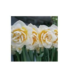 Narciso doppio Athol Palace