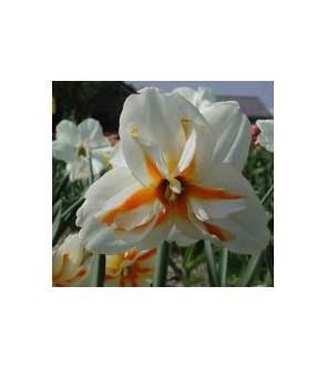 Narciso corona divisa Trepolo