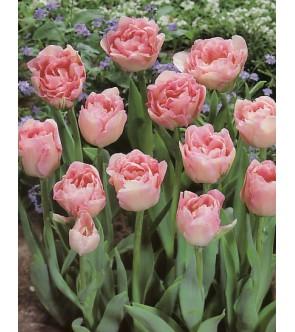 Tulipano doppio Angelique