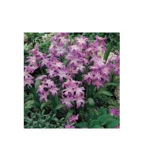 Chionodoxa luciliae Violet Beauty