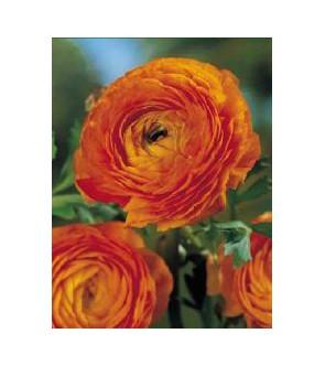 Ranuncoli asiatici Arancio