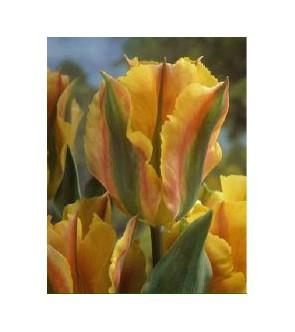 Tulipano viridiflora Golden...