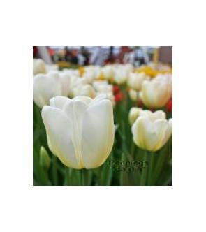 Tulipano stelo lungo Angel...