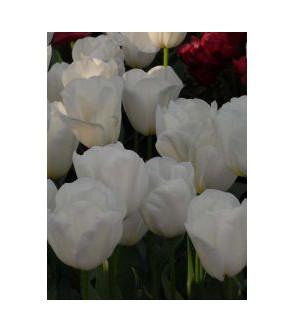Tulipano stelo lungo White...