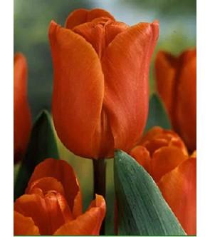 Tulipano stelo lungo Annie...