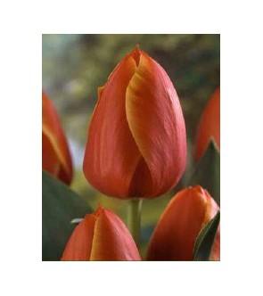 Tulipano stelo lungo Ad Rem
